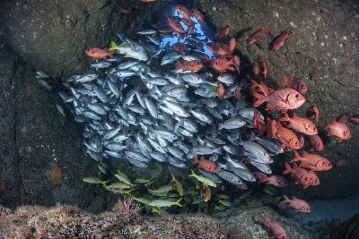 Schooling Fish Swim in a Cavern Near Cocos Island, Costa Rica-Stocktrek Images-Photographic Print