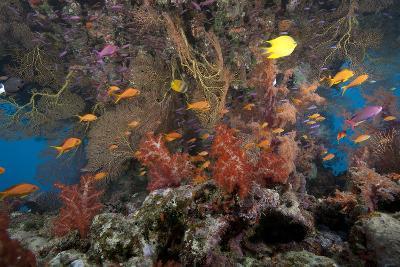 Schooling Scalefin Anthias Fish and Soft Corals of Beqa Lagoon, Fiji-Stocktrek Images-Photographic Print