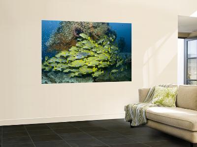 Schooling Sweetlip Fish Swim Past Coral Reef, Raja Ampat, Indonesia-Jones-Shimlock-Wall Mural