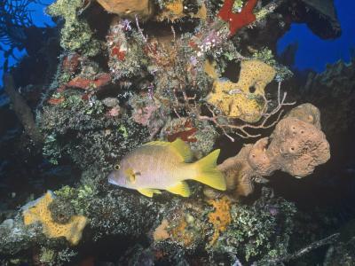 Schoolmaster Snapper (Lutjanus Apodus) Among Corals, Caribbean-Joan Richardson-Photographic Print