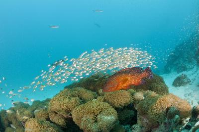 Schoolof Pygmy Sweepers and a Coral Grouper-Reinhard Dirscherl-Photographic Print
