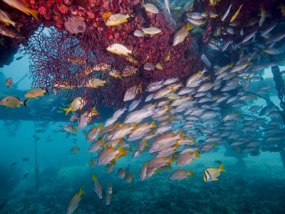 Schools of Gray Snapper, Yellowtail Snapper And Bluestripe Grunt Fish-Stocktrek Images-Photographic Print