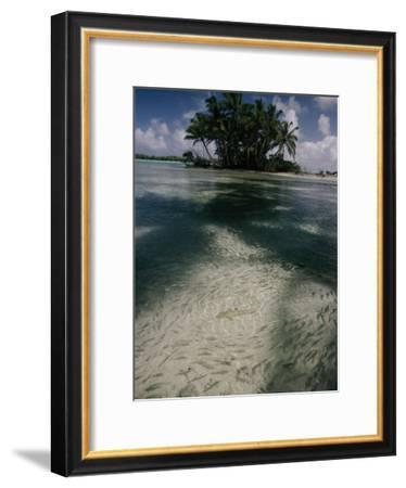 Schools of Mulletfish Prudently Detour Around a Blacktip Reef Shark-Randy Olson-Framed Photographic Print