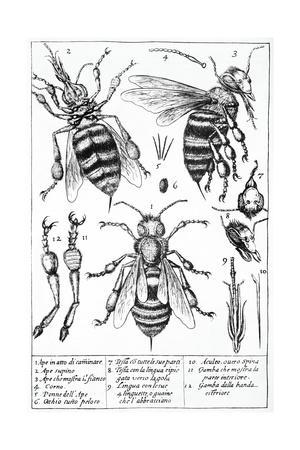 Bee Anatomy, Historical Artwork