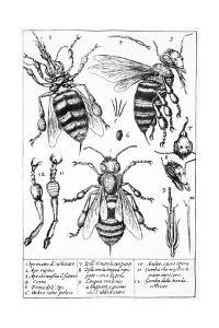 Bee Anatomy, Historical Artwork by Science Photo Library