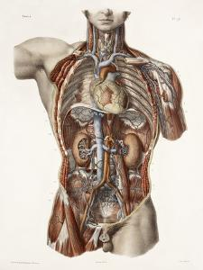 Cardiovascular System, Historical Artwork by Science Photo Library