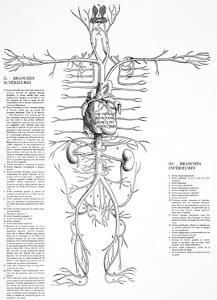 Circulatory System, 16th Century by Science Photo Library