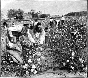 Cotton Industry, Early 20th Century by Science Photo Library