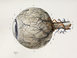 Eye Anatomy, 1844 Artwork by Science Photo Library