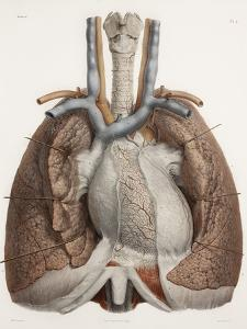 Heart And Lungs, Historical Illustration by Science Photo Library