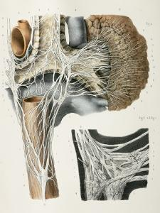 Respiratory Nerves, 1844 Artwork by Science Photo Library