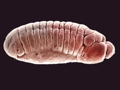 Embryo of the Fruit Fly (Drosophila Melanogaster), SEM X25