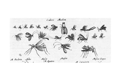 Scientific Illustrations of Mosquitos in Black and White