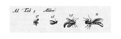 Scientific Illustrations of Winged Insects in Black and White