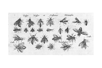 Scientific Illustrations of Winged Insects with Stripes