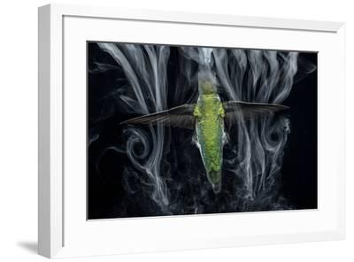 Scientists use water droplets to visualize the airflow around the wing of a hummingbird-Anand Varma-Framed Photographic Print