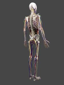 Human Anatomy, Artwork by SCIEPRO