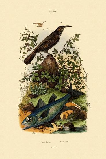 Scimitar Babbler, 1833-39--Giclee Print