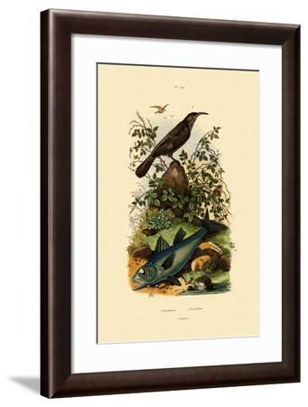 Scimitar Babbler, 1833-39--Framed Giclee Print