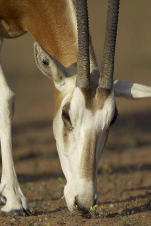 https://imgc.artprintimages.com/img/print/scimitar-horned-oryx-oryx-dammah-dubai-desert-conservation-reserve-dubai-uae_u-l-q13a6np0.jpg?p=0