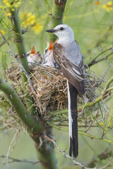 Scissor-Tailed Flycatcher Adult with Babies at Nest-Larry Ditto-Photographic Print