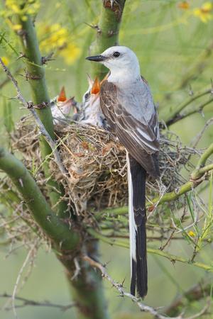 https://imgc.artprintimages.com/img/print/scissor-tailed-flycatcher-adult-with-babies-at-nest_u-l-pypr3z0.jpg?p=0