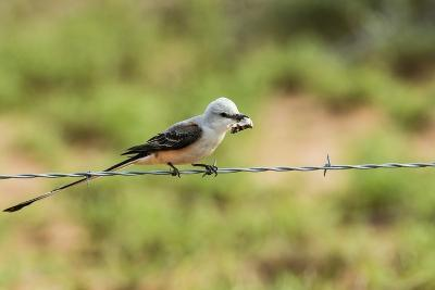 Scissor-Tailed Flycatcher-Gary Carter-Photographic Print