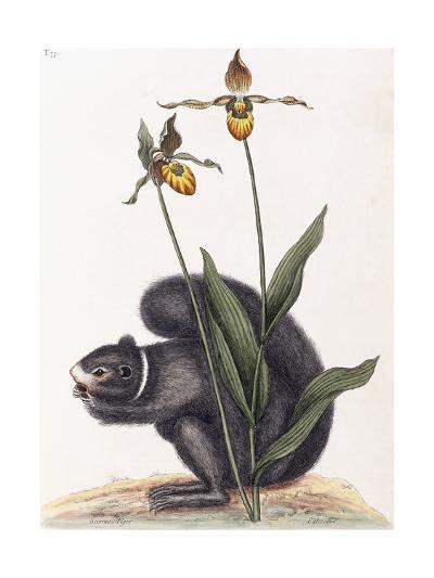 Sciurnus Niger-Mark Catesby-Giclee Print