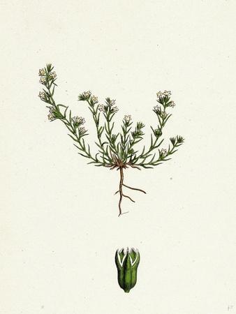 https://imgc.artprintimages.com/img/print/scleranthus-annuus-var-biennis-common-knawel-var-b_u-l-pvt2380.jpg?p=0