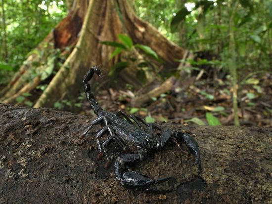 Scorpion on a Rainforest Log (Heterometrus Longimanus Borneensis)-Thomas Marent-Photographic Print