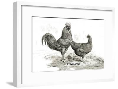 Scotch Greys--Framed Art Print