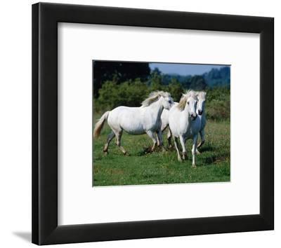 Scotish highland garrons--Framed Art Print