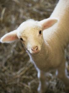Baby Lamb by Scott Barrow
