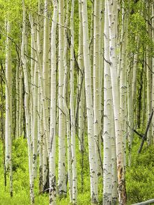 Aspen Trees in Spring by Scott Cramer