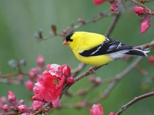 American Goldfinch (Carduelis Tristis) Male in Breeding Plumage, Nova Scotia, Canada by Scott Leslie/Minden Pictures
