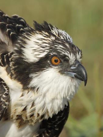 Osprey (Pandion Haliaetus) Portrait, Moschelle, Annapolis Valley, Nova Scotia, Canada