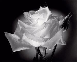 Dianne's Rose (black and white) by Scott Peck