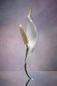 Peace Lily by Scott Peck