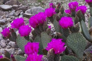 Blooming Prickly Pear Cactus Near Boulder Beach by Scott S^ Warren