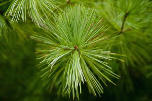 Detail of a Pine Tree in Rural Frederick County, Maryland by Scott S^ Warren