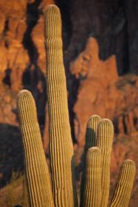 Saguaro Cactus in Lost Dutchman State Park in Apache Junction, Arizona by Scott S^ Warren