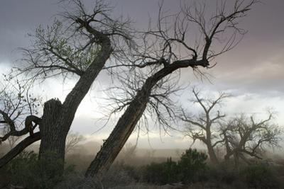Stately Cottonwood Trees During a Dust Storm at the Superbowl Campground, Utah by Scott S^ Warren
