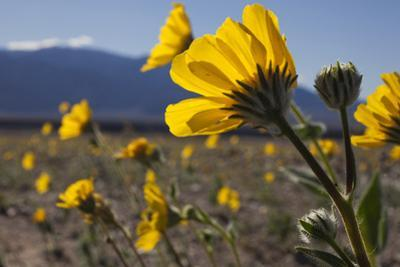 Wildflowers Bloom Along Highway 190 North of Furnace Creek in Death Valley National Park by Scott S^ Warren