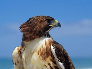 A Portrait of a Hawk by Scott Sroka