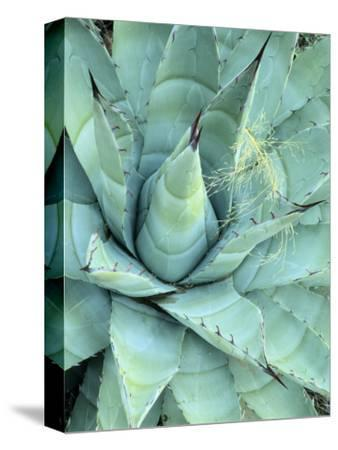 Agave Growing in Organ Pipe Cactus National Monument, Ajo Mountains, Arizona, USA