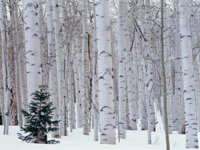 Aspen and Douglas Fir, Manti-Lasal National Forest, La Sal Mountains, Utah, USA