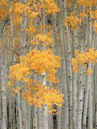 Aspen Grove, Fish Lake Plateau Near Fish Lake National Forest, Utah, USA