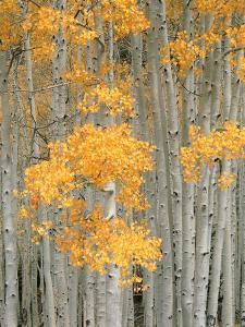 Aspen Grove, Fish Lake Plateau Near Fish Lake National Forest, Utah, USA by Scott T. Smith