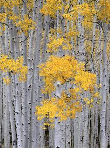 Aspen Grove on Fish Lake Plateau, Fishlake National Forest, Utah, USA by Scott T^ Smith