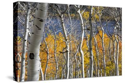 Aspen trees in above Fish Lake. Fishlake National Forest, Utah, USA